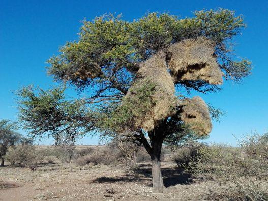 nidi-del-passero-tessitore